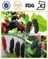 100% orgânicos de folhas de amoreira ou amoreira morus alba muberry extrato da folha/mulberry extrato de fruta