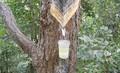 De pino de colofonia gomademascar/resina colofonia