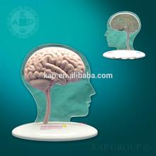 High Quality Brain Anatomy Mode/ Anatomy Brain Model/ Brain Model for medical teaching