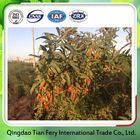Organic Goji Berries Extract
