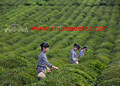 china té facotory de suministro diferentes téverde jasmin