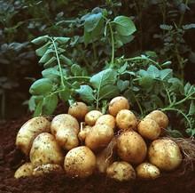 patata fresca de bangladesh de semilla de papa de la exportación