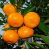 baby mandarin Orange with best price