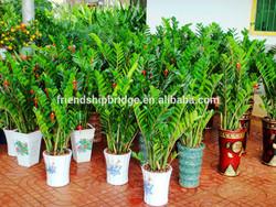 natural Zamioculcas zamiifolia for indoor ornamental decorative bonsai plants