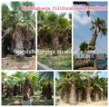 natural verde al aire libre decrotive jardinería ornamental los árboles de palma de las plantas
