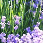 Lavender Essential Oil for Scent Diffusion System