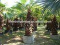 Filiferalinden washingtonia. Wendland al aire libre de ornamentales de paisajismo decrotive los árboles de palma de las plantas