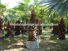 Washingtonia filiferaLinden.Wendland of outdoor ornamental decrotive landscaping palm trees plants