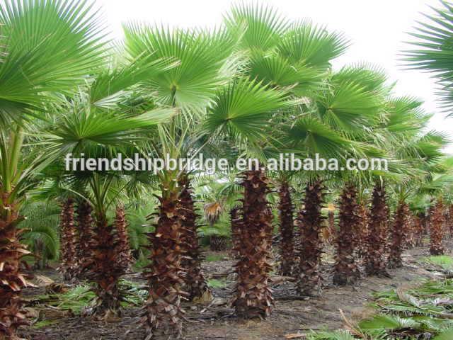 Washingtonia filiferalinden wendland de exterior - Palmeras plantas exterior ...