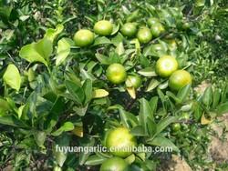 Baby Mandarin /lokam mandarin /lemon fruits exporter