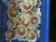 frozen scallop with half shell QF