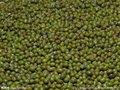 usine pour le matériel frais vert haricots mungo à germer ou cuire prix de haricot mungo vert