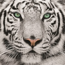 Hot selling Animal oil painting of tiger design