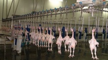 production line poultry chicken slaughtering equipment /chicken slaughtering machine/auto poultry slaughterhouse equipment