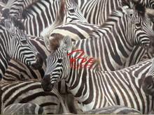 4 Panel Zebra Horse Pictures Wall Art