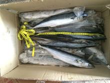 ikan tenggiri spanish mackerel
