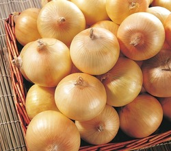 yellow round onion in new crop