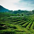 يشرب الشاي الأخضر خفض ضغط الدم