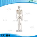 Adultos xc-102 esqueleto humano modelo precio