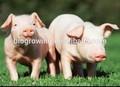 Levure en poudre protéine animal additifs alimentaires