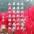 кокскомб цветок/селосия cristata/петушиный гребень сок