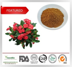 High quality extract of Crown of Thorns 10:1 20:1/Euphorbia milii extract/Euphorbia milii extract powder