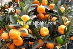 Citrus fruits----chinese mandarin orange with factory directory price
