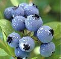 Natural procyanidins extracto de semilla de uva en precio de fábrica