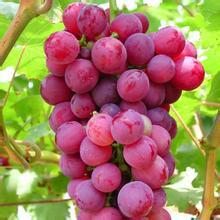 GMP factory supply High quality Grape Seed Extract