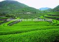 حار بيع منتج الأخضر 2015 ذهبية شاي أعشاب الهندباء