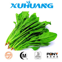 factory supply Spinach P.E./frozen spinach,spinach leaf extract