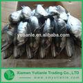 Hot produits en porcelaine de gros poisson congelé ruban/queue de cheveux pour la vente