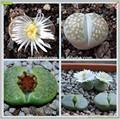 Mini-indoor cactus planta suculenta