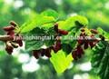 bv certificada fabricante fornecer venda quente melhor preço da folha do mulberry