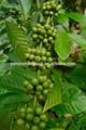 Certificado gmp fabricante de la fuente caliente de la venta de café verde orgánico p. E.