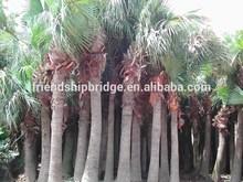 Palm trees Livistona chinensis (Jacq.) R. Br