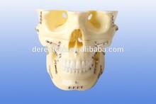 Human dental srugery model ,dental surgery teaching model