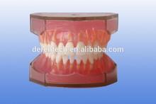 Human standard dental teeth model , Dental model ,standard teeth model