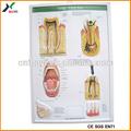 Dp-5001-17,50x70cm, espesor 0.3mm consultorio dental del cartel, carteles dental
