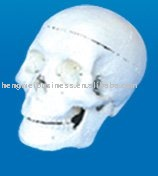 The model of skull for students(3parts)