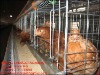 poultry farm house with auto water system
