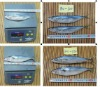 frozen whole round mackerel fish