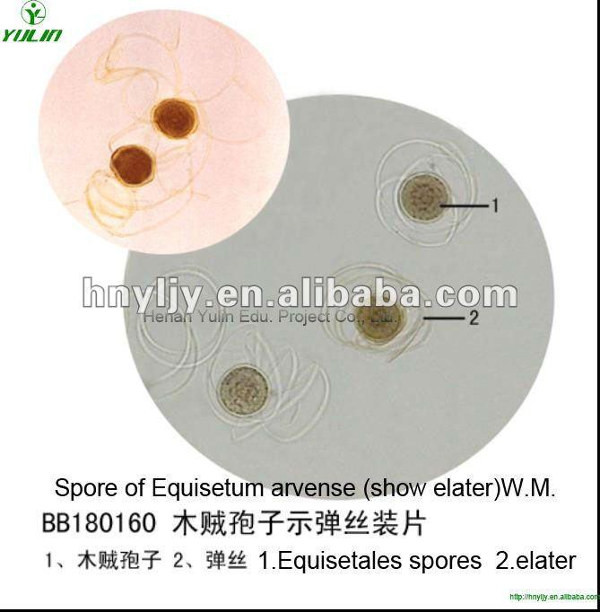 Diapositivas botánica educativa preparados, Esporas de Equisetum arvense ( mostrar elater ) wm