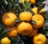 wholesale fresh citrus fruits