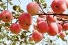 apple fruit price