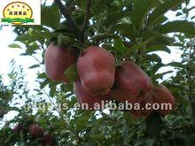 2012 fresh red apple --NEW