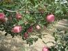 Fresh fruit --Fuji exporter