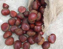 fresh chestnut 2012