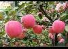New season fruit market prices apple
