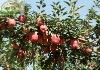 China gala apple